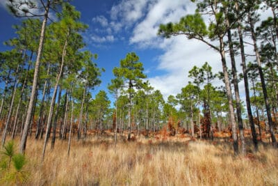 Grants Available to Help Restore Longleaf Pine Forests
