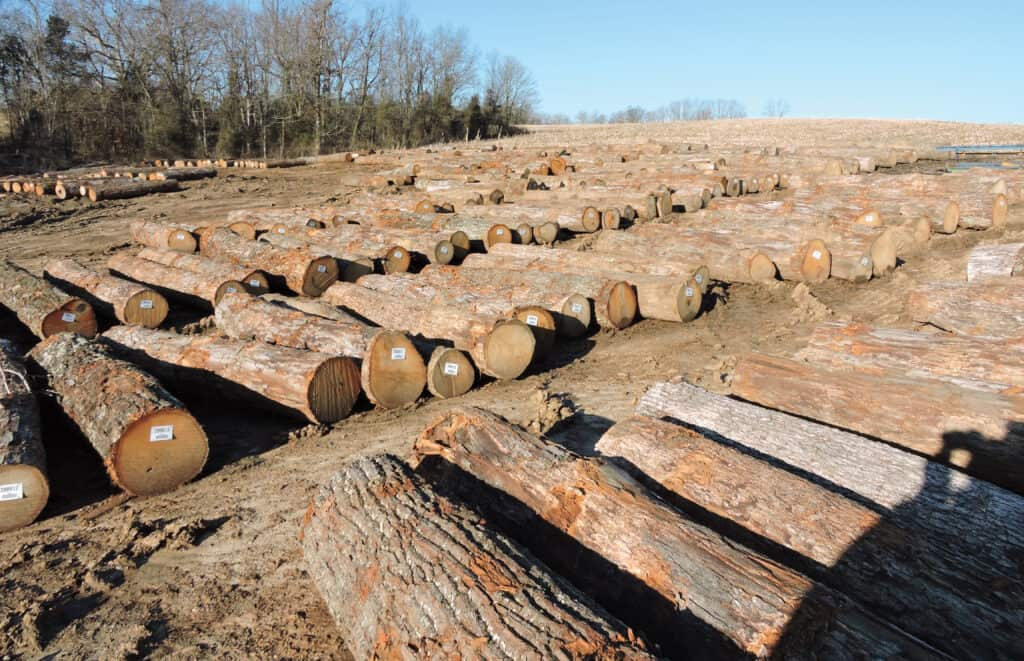 White Oak grade logs are ready to be sawn at Prime Lumber Saw- mill. Production at the sawmill is approximately 10 million board feet per year.